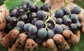 From the Ground to the Bottle Savour the essence of succulent grapes  bursting with flavor.